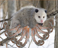 The Octo-possum