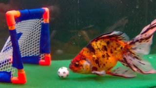 Albert Einstein, the soccer playing calico fantail fish