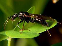 Carpenter Ant, (c) Bruce Marlin