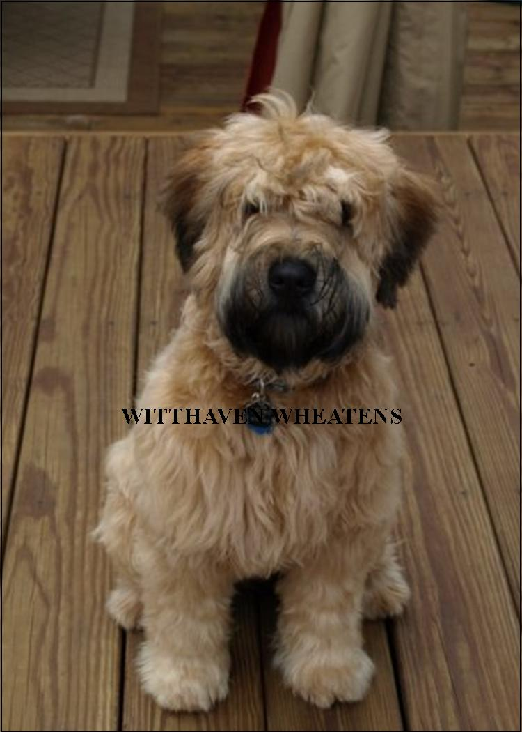 Soft Wheaten Terrier Breeders Ontario Goldenacresdogs Com