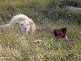 What do white lions eat - photo#14
