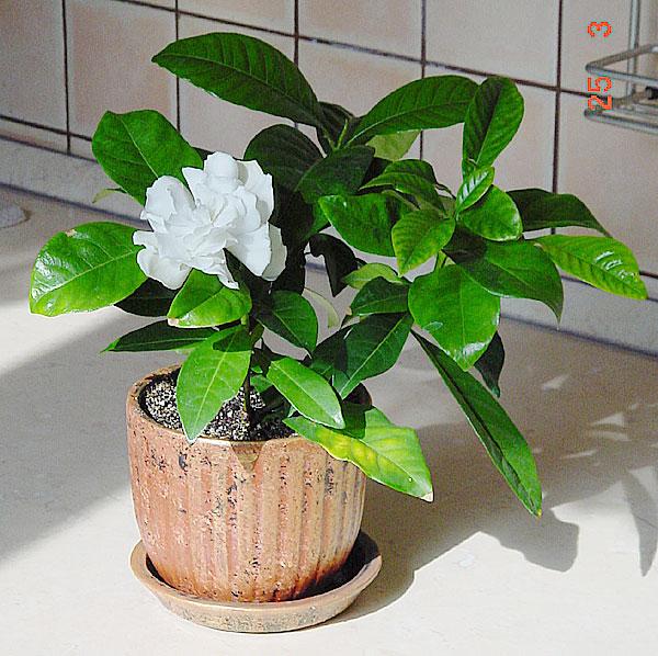 gardenia jasminoides , nombre común o vulgar gardenia, jazmín del