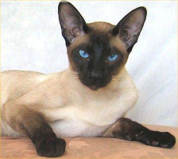 c814bddb999bc Os siameses é uma das primeiras claramente reconhecidas raças de gatos  orientais . A origem exata da raça é desconhecidas, mas acredita-se ser do  sudeste da ...