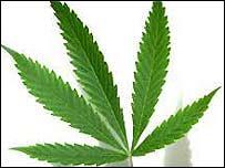 Hoja de Cannabis sativa.