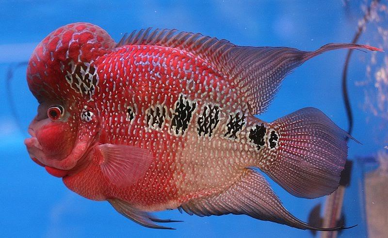 Aquarium-cichlid: Flower Horn Fish
