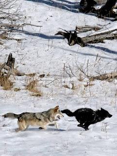 Druid pack wolves running