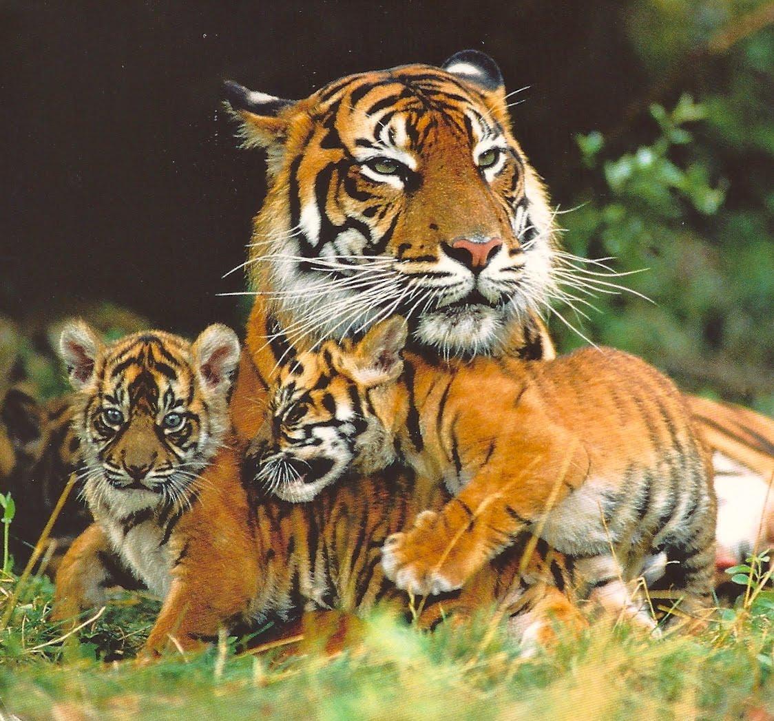 WWF India Save the Tigers | Udipti