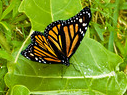 Metamorphosis of a Monarch