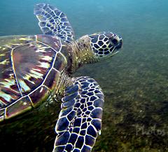 Honu Swimming