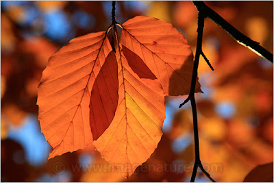 Three brown beech leaves (Fagus sylvatica)