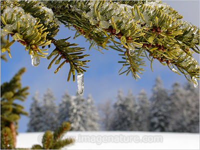 Another winter image: Christmas tree