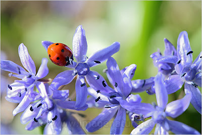 Blue spring flowers with ladybird