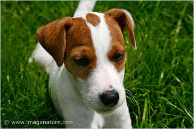 Parson Jack Russell puppy portrait