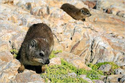 Cape Hyrax, Rock Hyrax, Procavia capensis