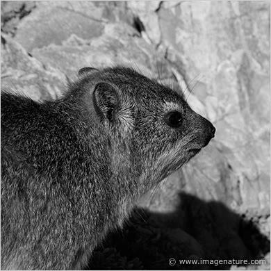 Rock Hyrax, Cape Hyrax (Procavia capensis)
