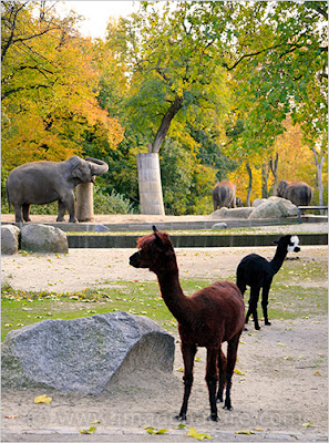Alpaca (Vicugna pacos) and elephants in Berlin zoo