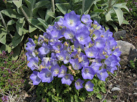Highly Recommended Low Growing Plants Flower In Late June And July Campanula Carpatica Blue Clips