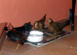 Interesting Chicken Facts La Gringa S Blogicito