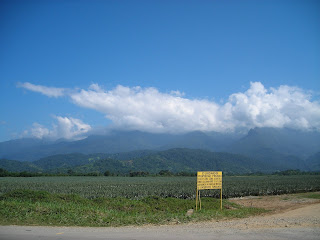 pineapple fields, El Porvenir, Honduras
