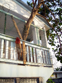 tree growing through house, Honduras