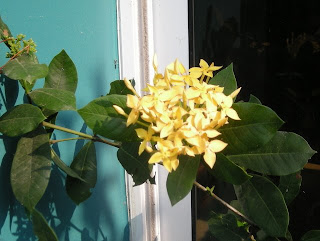 pale yellow Ixora