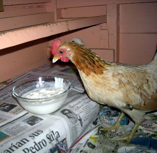 chicken eating yogurt, La Ceiba, Honduras