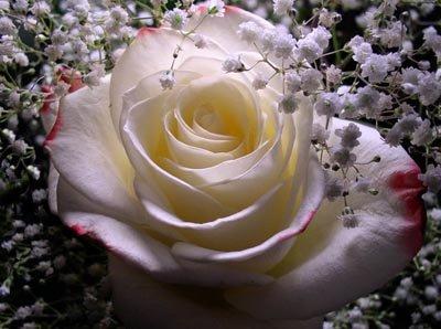 [rosa+branca]