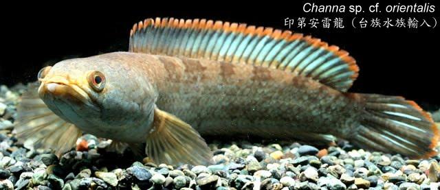 奇獸飼育學: 2011-01-25新進魚隻
