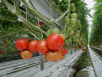 La culture des tomates, ce n'est pas que sous serre qu'elle se réalise !