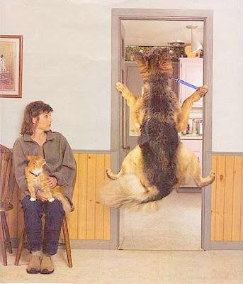 Cão Pastor alemão agarra-se aos batentes da porta para não entrar na sala de exames do veterinário.