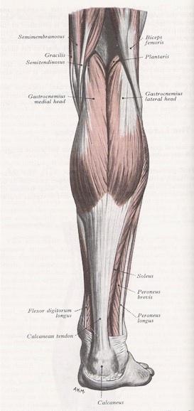 Three Bodies: Flesh & Bone: Gastrocnemius & the Sphenoid