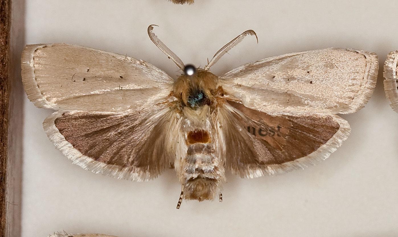 Xyloryctine Moths of Australia: August 2010