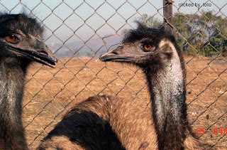 903170282b The largest can reach up to 190 to 150 centimetres (75–59 in) in height 1  to 1.3 metres (3.3–4.3 ft) at the shoulder. Emus weigh between 18 and ...