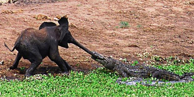 Forex nation alligator