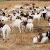 क्या आप जानते हैं, Google के ऑफिस में 200 बकरियां भी करती है काम