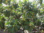 The Breadfruit Tree