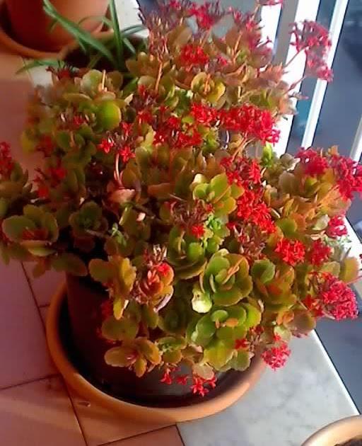 Il mio balcone: Una bella pianta grassa con tanti fiori