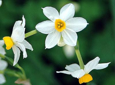 ΒΑΓΟΡΑ ΠΑΝΤΑ ΠΡΩΤΟΣ! Narcissus+tazetta_01