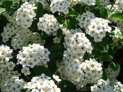 White flowering Spirea shrub