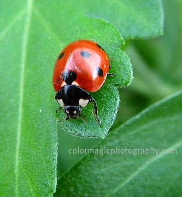 Ladybug close-up