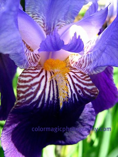 The heart of an iris flower
