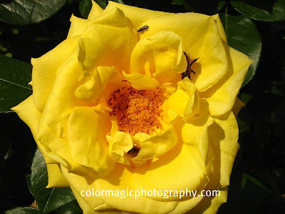 Yellow rose with a bee