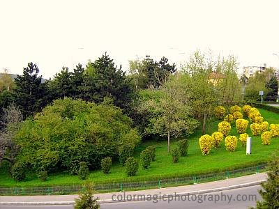 Yellow shrubs in spring