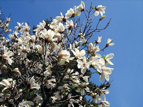 White magnolia tree against the blue sky