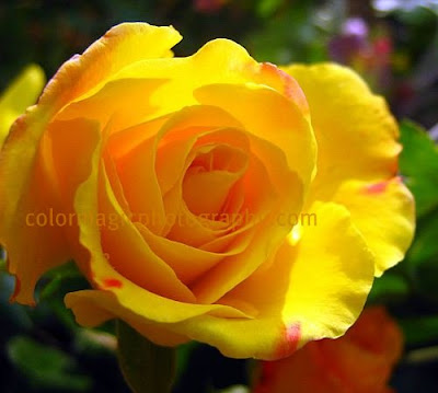 Single yellow rose-macro photography