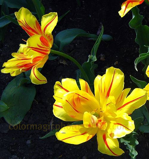 Yellow parrot tulip pictures-Monsella Tulips