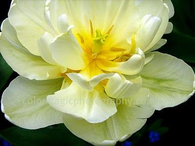 peony tulip white-yellow-tulip-macro photo