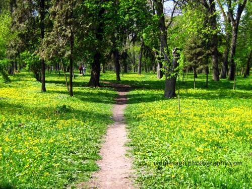 Yellow dandelion carpet-landscape photo