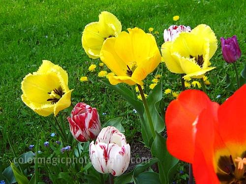 Yellow fringed tulip-crispa tulip