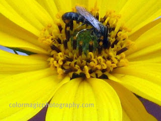 yellow Sunroot flower with a fly